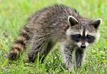 Wildlife Experts: Watch For Rabies This Time Of Year